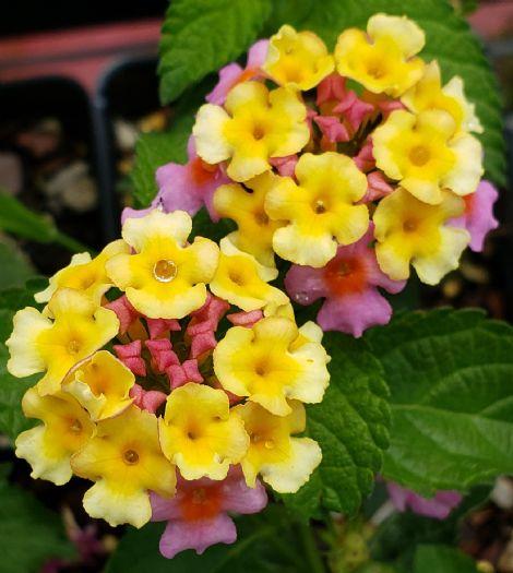 Chapel Hill™ Pink Huff Hardy Lantana (mounding to bush, pink and primrose yellow)