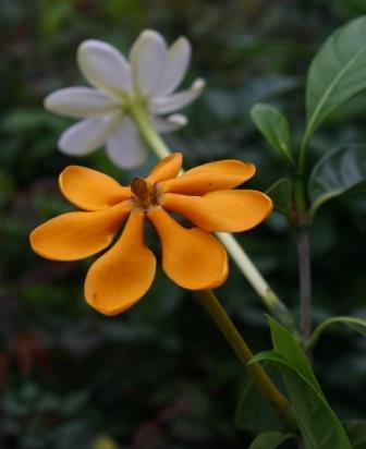 Golden Pinwheel Gardenia