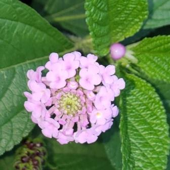 Three-Leaf Lantana, Three-Leaf Shrub Verbena (lavender flowers, purple fruit)