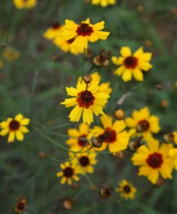 Plains Coreopsis, Golden Tickseed