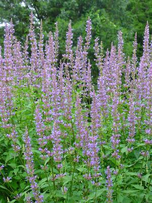 Purple Haze Agastache, Hyssop