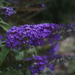 Blue Knight Butterfly Bush, Buddleia