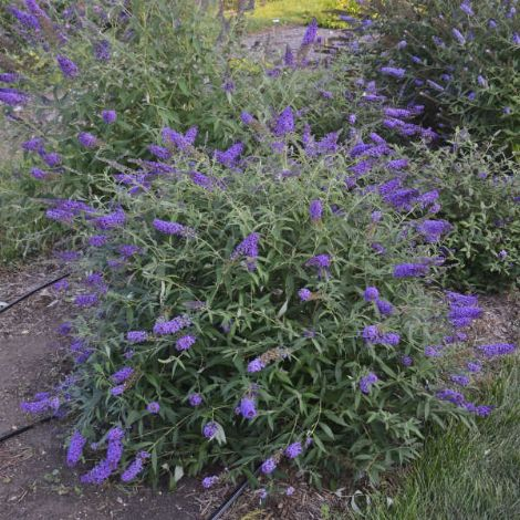Blue Knight Butterfly Bush, Buddleia