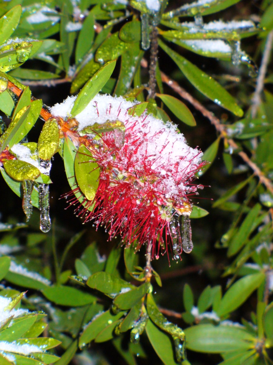 Lemon Leaf Bottlebrush with snow and ice, Del Rio, TX