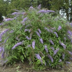 Lavender Cascade Butterfly Bush Shrubs Trees All Almost Eden