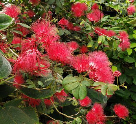 Dwarf Pink Powder Puff Tree, Dwarf Red Powderpuff