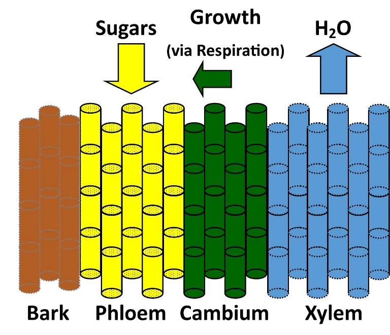 Simplified Woody Plant Stem Diagram - Bark, Phloem, Cambium, Xylem