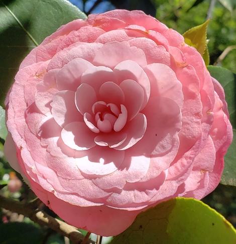 Pearl Maxwell Camellia