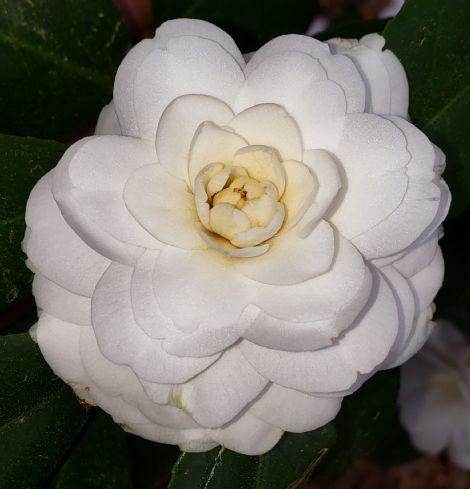 Snow White Camellia