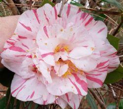 Extravaganza Camellia