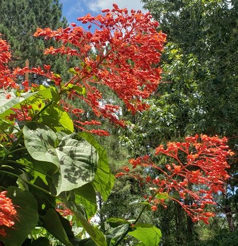 Giant Salvia, Japanese Glorybower, Red Glorybower