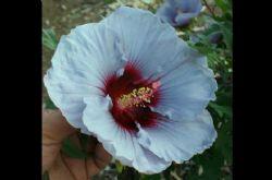 Cordon Bleu™ Summer Spice™ Perennial Hibiscus, Hardy Hibiscus