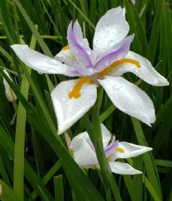 African Iris, Wild Iris, Cape Iris, Fortnight Lily, Fortnight Iris, Dietes