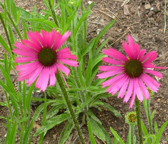 Tennessee Purple Coneflower