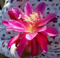 Pink Orchid Cactus, Epiphyllum 'Pink'