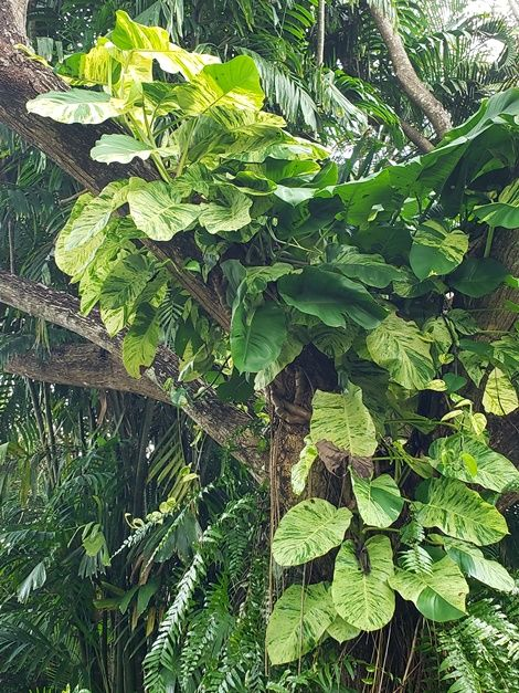 The mature form of the Pothos or Devil's Ivy, Epipremnum aureum