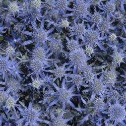 Blue Glitter Sea Holly, Eryngium