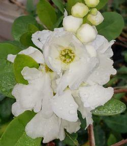 Magical® Springtime Pearlbush, Exochorda