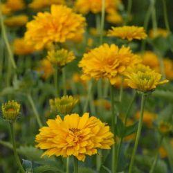 Summer Sun False Sunflower, Smooth Oxeye, Sunflower Heliopsis