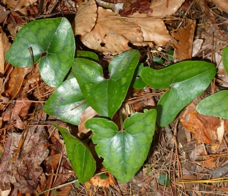 Little Brown Jugs, Heart Leaf, Evergreen Wild Ginger, Piggies Ginger