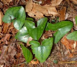 Little Brown Jugs, Heart Leaf, Evergreen Wild Ginger, Piggies Ginger, Hexastylis arifolia var. arifolia