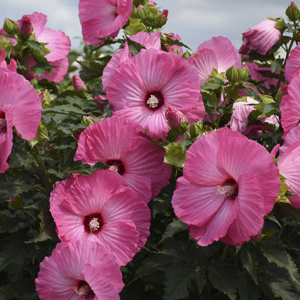 Airbrush Effect Perennial Hibiscus, Hardy Hibiscus, Hibiscus x 'Airbrush Effect'