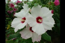 Crème de la Crème™ Summer Spice™ Perennial Hibiscus, Hardy Hibiscus