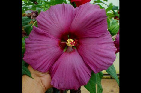 Plum Flambe™ Summer Spice™ Perennial Hibiscus, Hardy Hibiscus