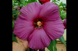 Plum Flambe™ Summer Spice™ Perennial Hibiscus, Hardy Hibiscus