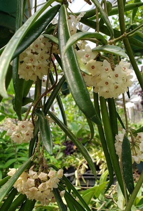 String Bean Hoya, China Beans, Wax Flower, Porcelain Flower