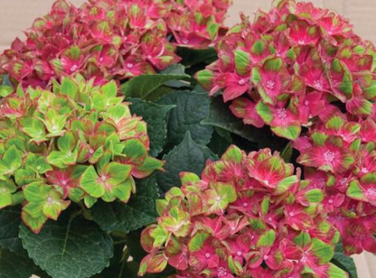 Next Generation® Pistachio Bigleaf Hydrangea (Mophead, Repeat Flowering Bicolor), French Mophead Hydrangea