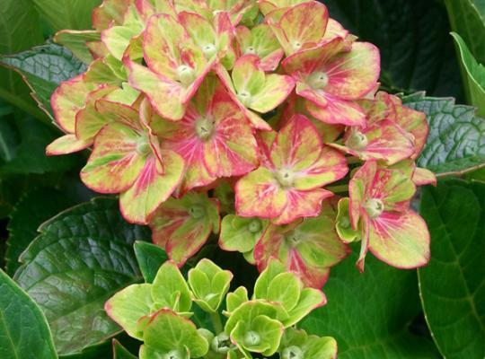 Next Generation® Pistachio Bigleaf Hydrangea (Mophead, Repeat Flowering Bicolor), French Mophead Hydrangea
