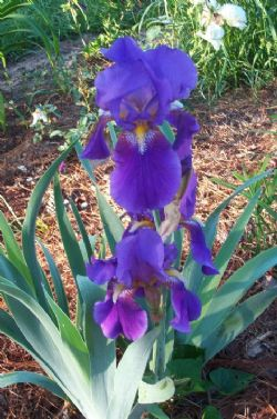 Bobbie's Old Fashioned Purple Bearded Iris, German Iris (Purple and Purple, Mid spring), Iris germanica 'Old Fashioned Purple'