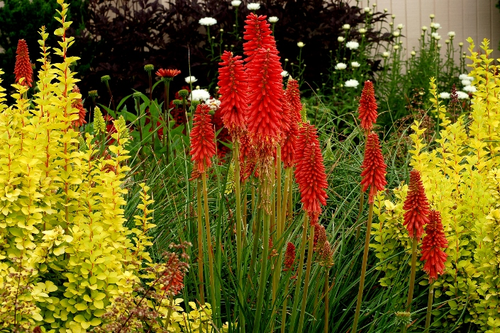Redhot Popsicle™ Dwarf Kniphofia, Tritoma, Torch Lily, Red Hot Poker