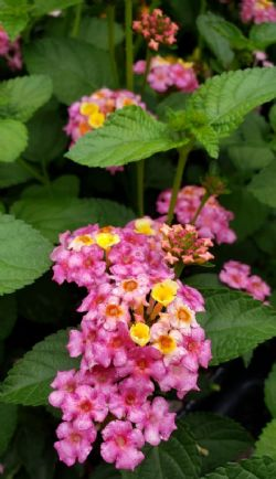 Chapel Hill™ Pink Huff Hardy Lantana (mounding to bush, pink and primrose yellow)