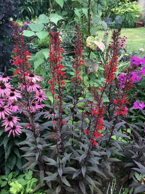 Black Truffle Cardinal Flower Lobelia Plants For Bogs Wet Areas