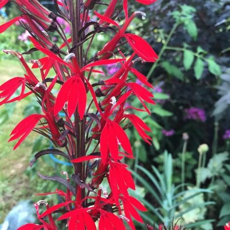 Black Truffle Cardinal Flower, Lobelia