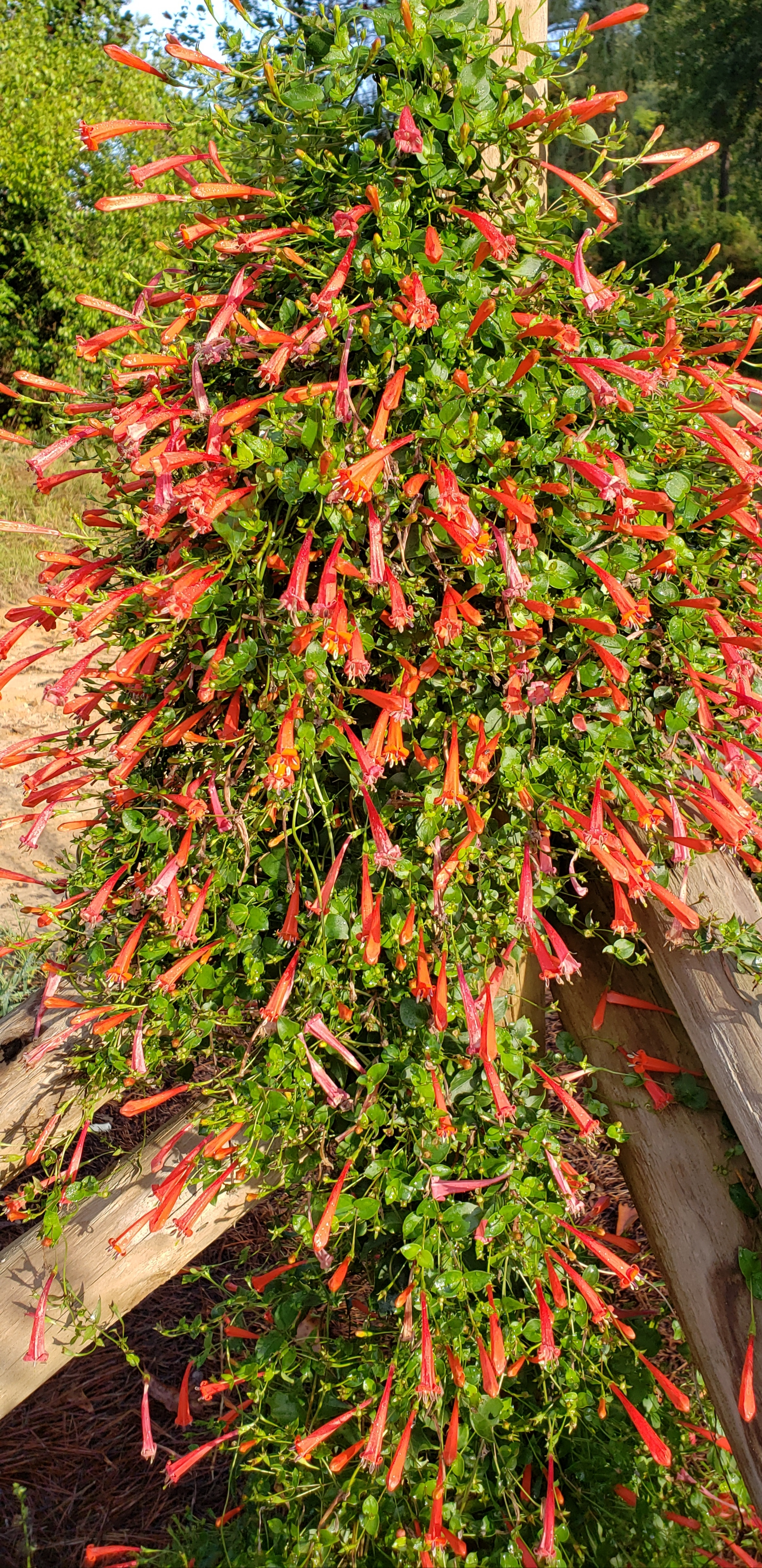 Firecracker Vine Hummingbird Plants Almost Eden