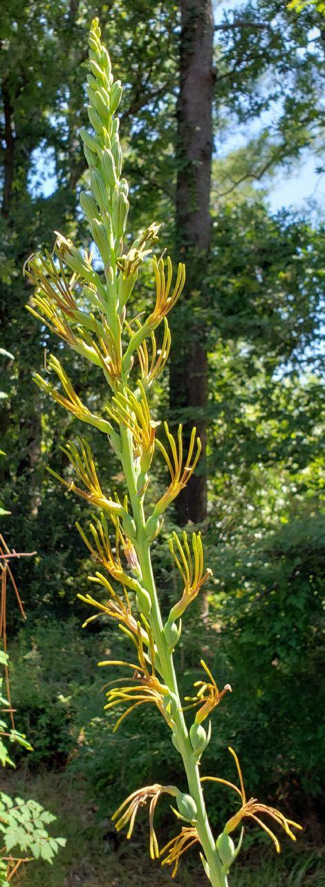 False Aloe, Virginia Manfreda, False Tuberose