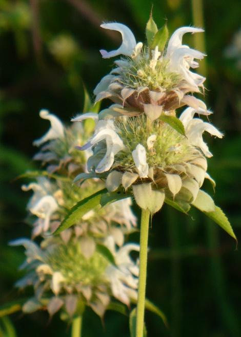 Lemon Beebalm, Lemon Mint, Lemon Horsemint, Lemon Bergamot, Purple Horsemint