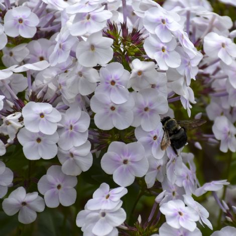 Fashionably Early Crystal Phlox (White)