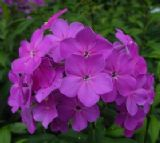 Texas Pink Garden Phlox, Summer Border Phlox, Fall Phlox