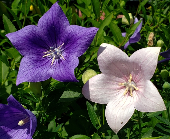 Astra Pink Balloon Flower, Japanese Bellflower, Korean Bellflower, Chinese Bellflower