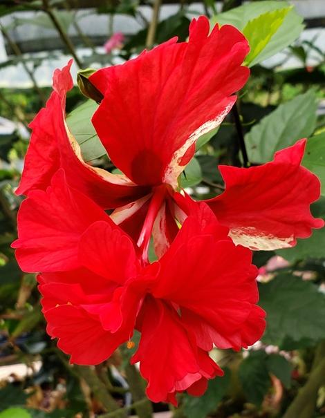 El Capitolio Tropical Hibiscus
