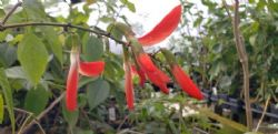 Red Jade Vine, Crista de Galo, Rooster's Crest