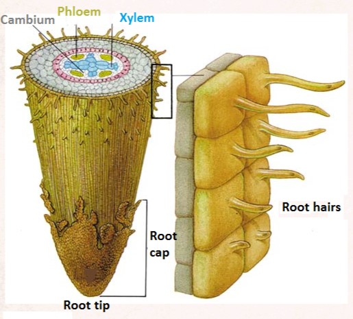 Root Growing Tip Diagram