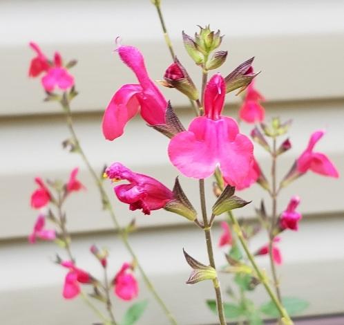 Cherry Queen Salvia