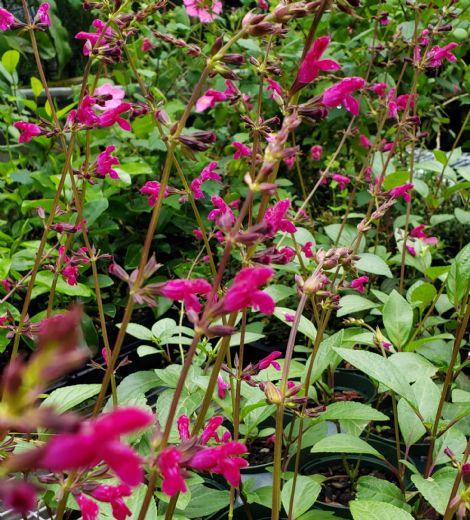 Chiapas Sage, Meadow Sage