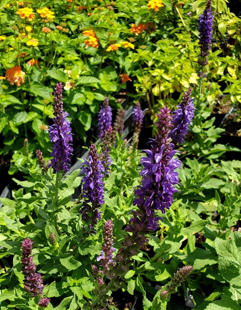 Lyrical™ Silvertone Salvia, Woodland Sage, Balkan Clary