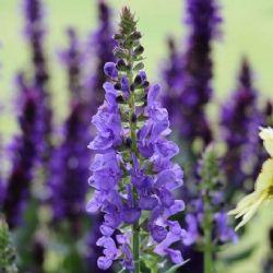 Sky Blue Marvel Salvia, Woodland Sage, Balkan Clary